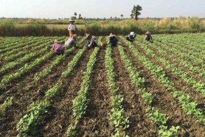 Green gram crops Myanmar
