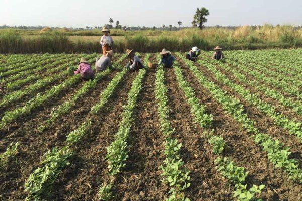 Pantama Seed farmers Myanmar